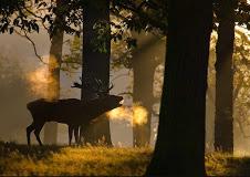 elk bugling forest